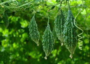 Chữa gan nhiễm mỡ nhanh chóng bằng các vị thuốc nam quanh vườn nhà